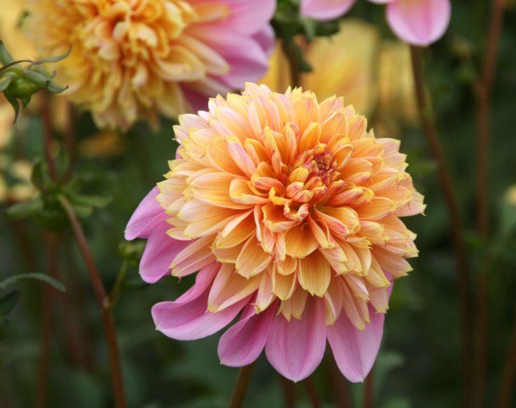 Dahlia Life Style, type: anemoon, bloem: 10-15cm, hoogte: 80cm