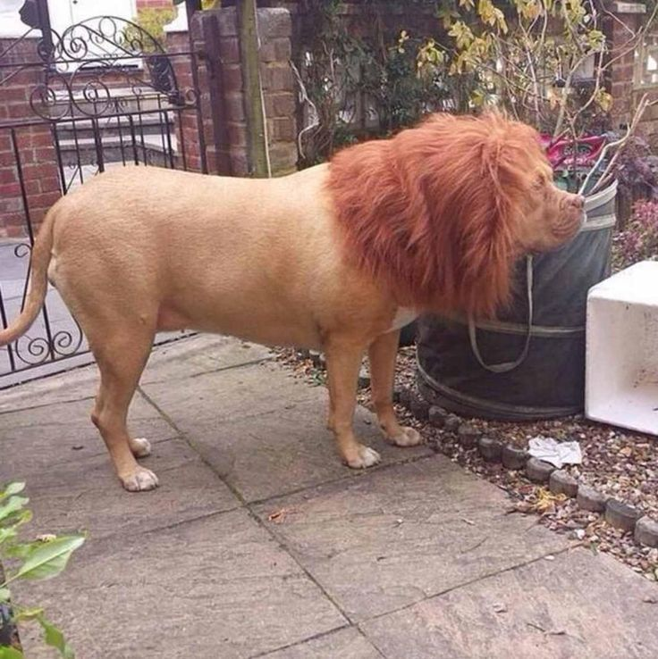 Put a wig on your dog and watch the neighbours freak out