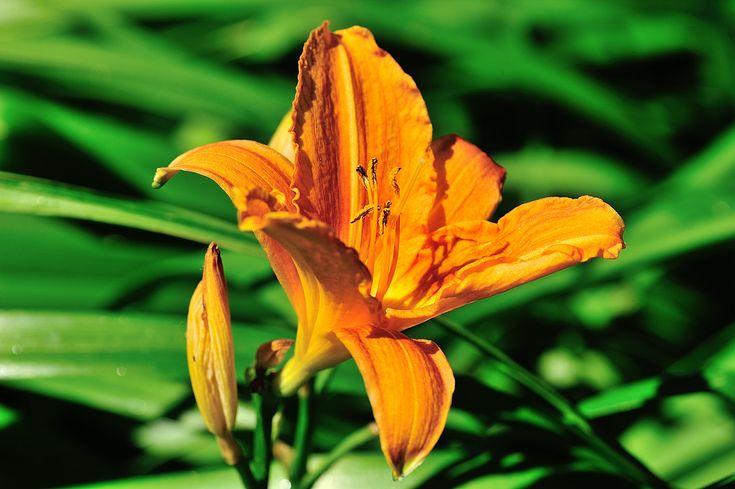 Lys d'un jour, Les fleurs - MonSitePhotos   Hémérocalle, Fleurs, Fleurs été