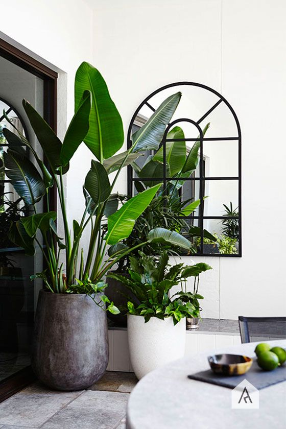 Tree Potting Giant Bird Of Paradise Strelitzia Nicholai Image From Adam Robinson Design S Casaba Waterloo White Project