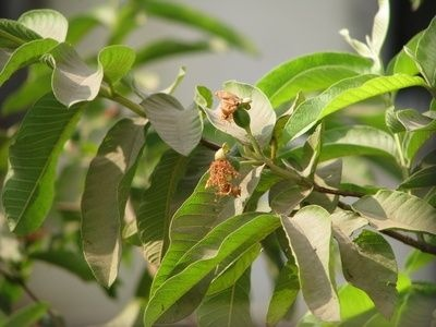 How to Grow a Guava Tree