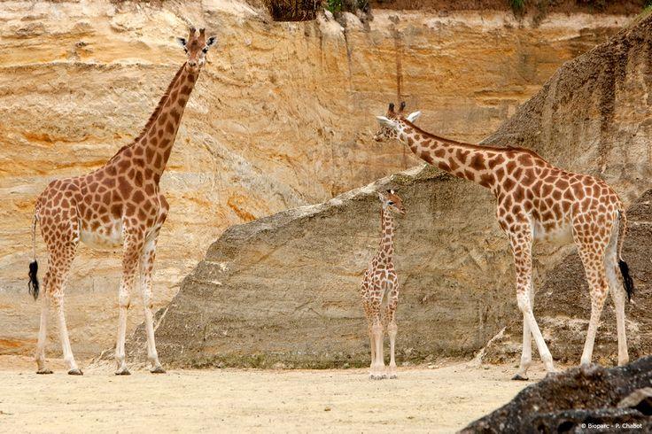 De par leurs couleurs, les girafes se fondent dans leur environnement où la pierre fe falun est très présente.