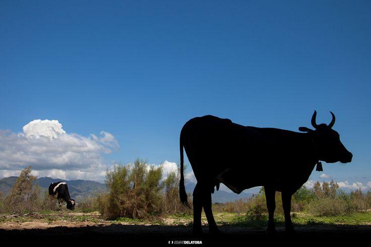 Cow backlighting #josafatdelatoba #cabophotographer #loscabos #bajacaliforniasur #mexico #rural #cow #backlighting