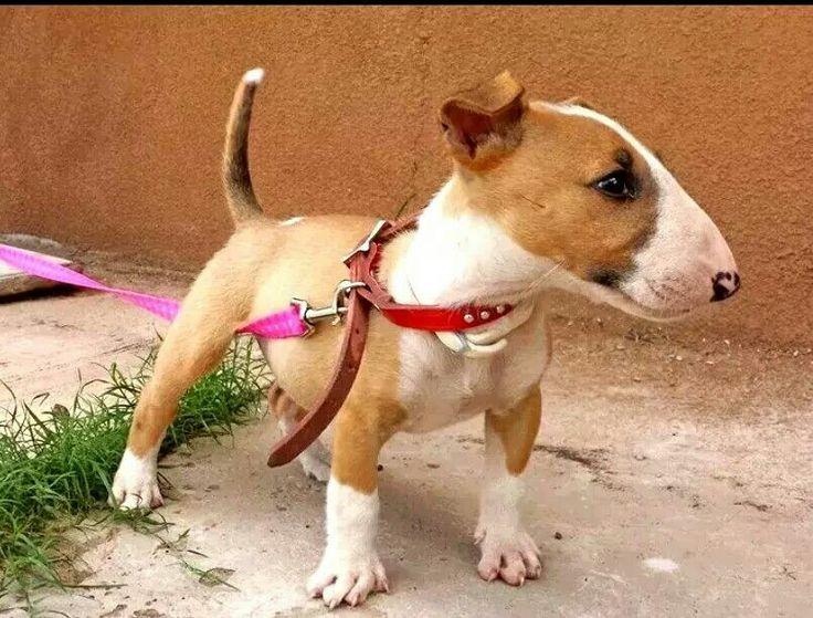 #Bull #Terrier #pup