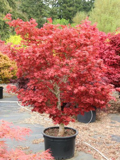 Acer Palmatum Ruby Star Japanese Maple Gardenyard Japanese