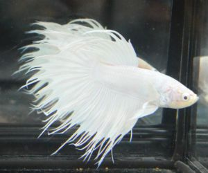 For sale betta and fish for sale on pinterest for Where to buy betta fish