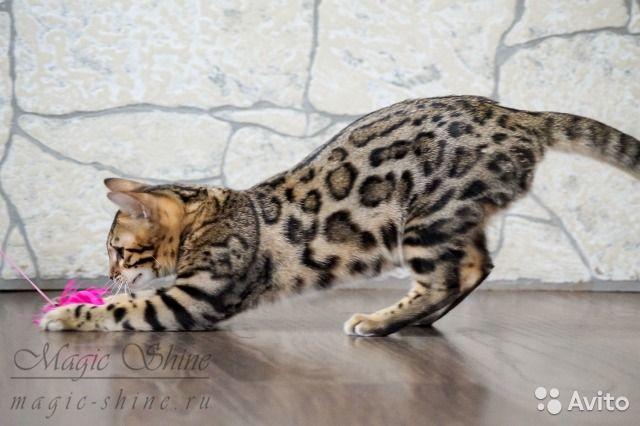 Эксклюзивные бенгальские котята — фотография №5