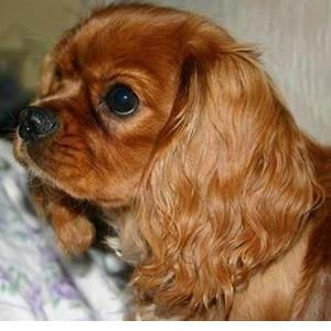 Cavalier King Charles Spaniel - ruby, just like our lovely girl!