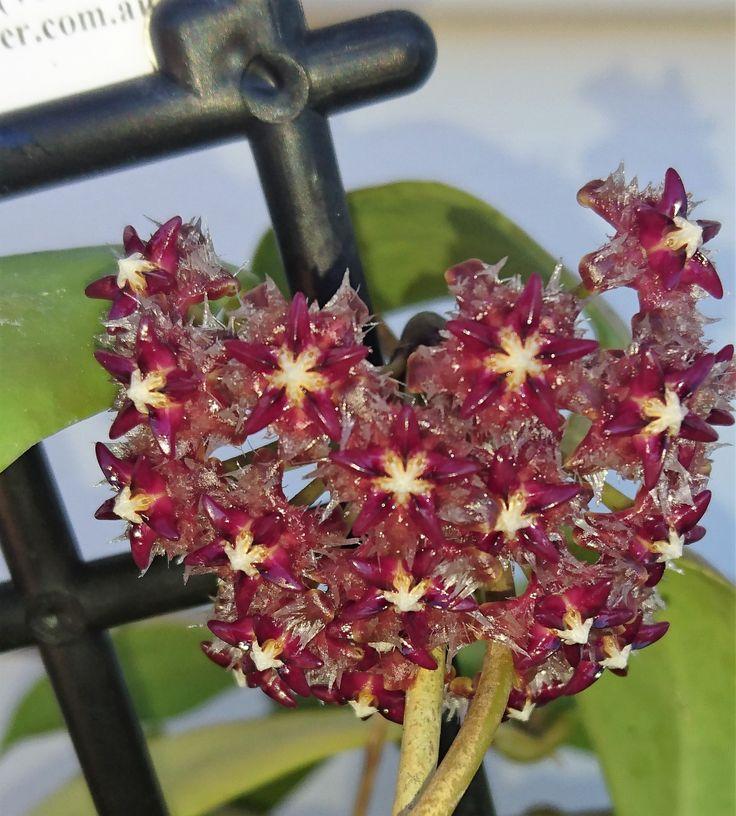 H.mindorensis flowering January @169