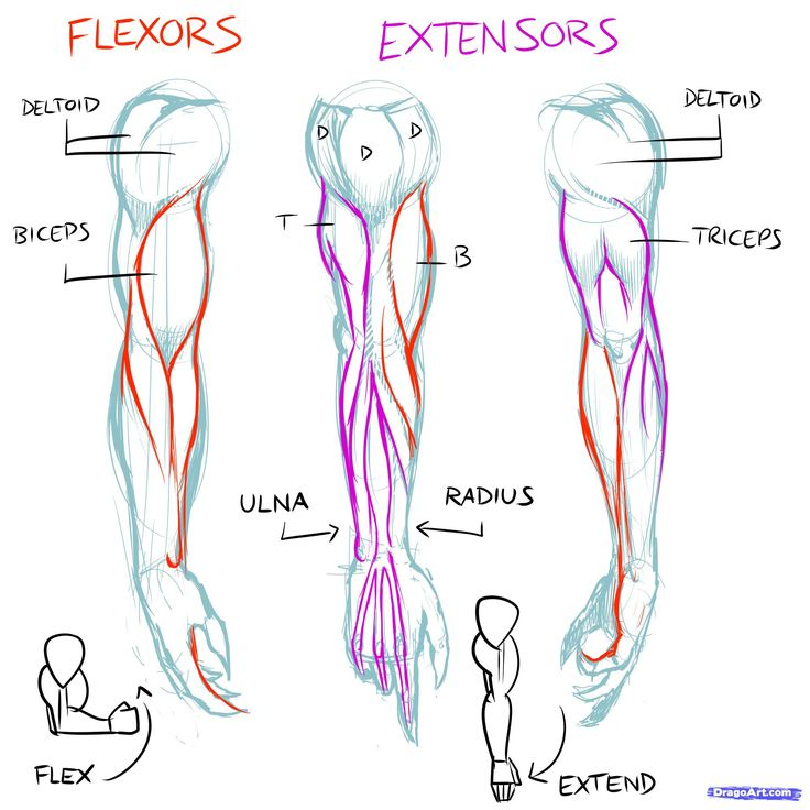 muscles line of pull | How to Draw Muscles, Step by Step, Anatomy, People, FREE Online ...