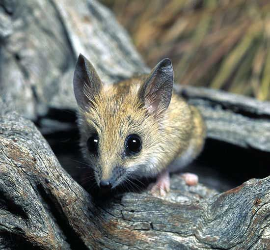 The Fat-tailed Dunnart, A Mouse-like Marsupial From