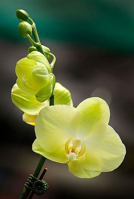 Yellow Orchid in Bloom