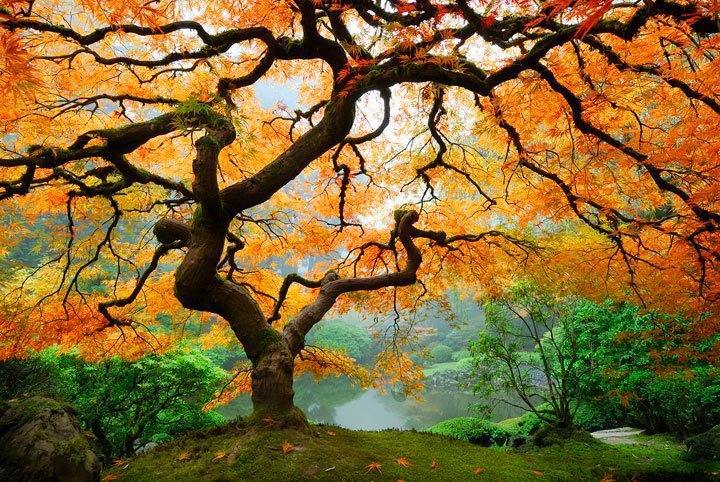 Under a Japanese Maple.