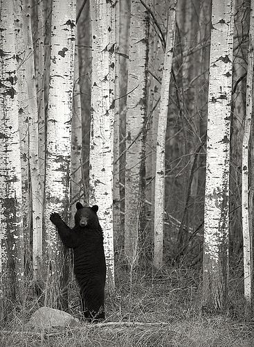 Tree hugger in Fort Nelson, British Columbia, Canada