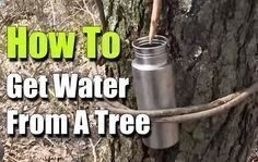 How To Get Water From A Tree, Survival, prepping, bushcraft, how to, shtf, survival water, fresh water, hack, emergency water, #bushcrafthacks #survivalprepping #survivalhacks #preppingsurvival