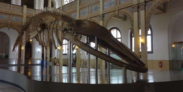 Desde que llegó de las costas de Valparaíso en 1889, la ballena que alberga el Museo Nacional de Historia Natural ha sorprendido a los científicos. Primero se la identificó como una ballena azul, luego como una ballena de aleta y recientes estudios indican que se trata de una Balaenoptera borealis. Los nuevos antecedentes taxonómicos surgieron gracias a los trabajos de desmontaje y renovación de su esqueleto, realizados entre noviembre de 2012 y agosto de 2013 en el salón central del…