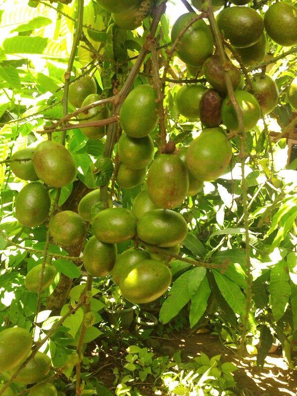 Matoa fruits