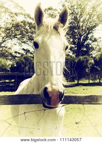 White horse in paddock.