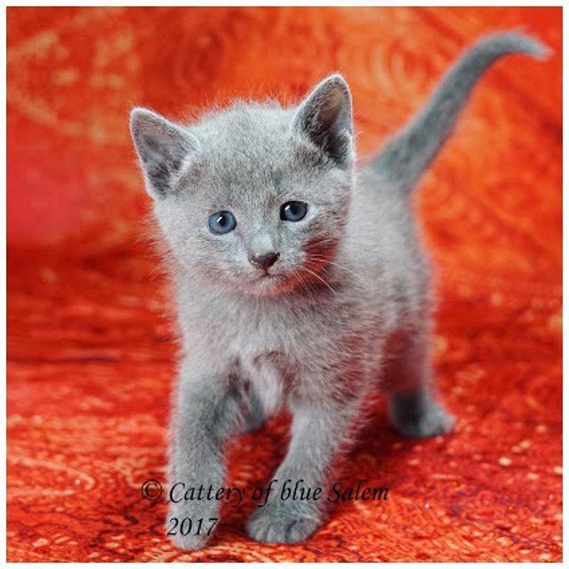 Happy Throwback Thursday, everypawdy! #tot #throwbackthursday #ayumi #bluesalem #5weeksold #russianblue #picoftheday #kitty #cat #katze #chat #кошка #ねこ#愛猫 #germany #russischblau #neko #kitten #junebaby #meowdel #follow4follow #followforfollow #instacat #instapet #blueeyes #ilovemycat #eveningpost #berlin #redbackground #cuteface