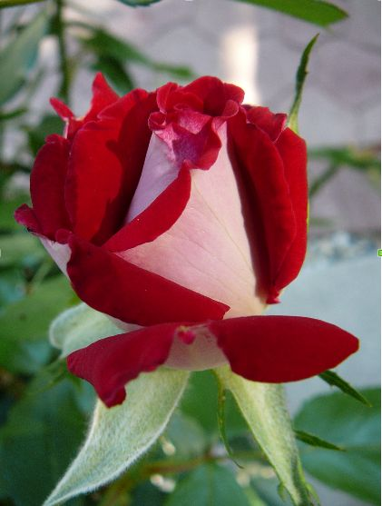 This rose is Fire and Ice