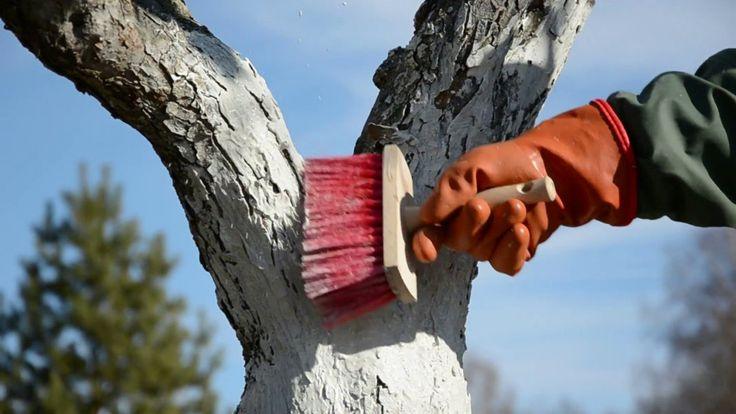 Осенняя побелка плодовых деревьев. Составы, сроки, советы. Фото - Ботаничка.ru