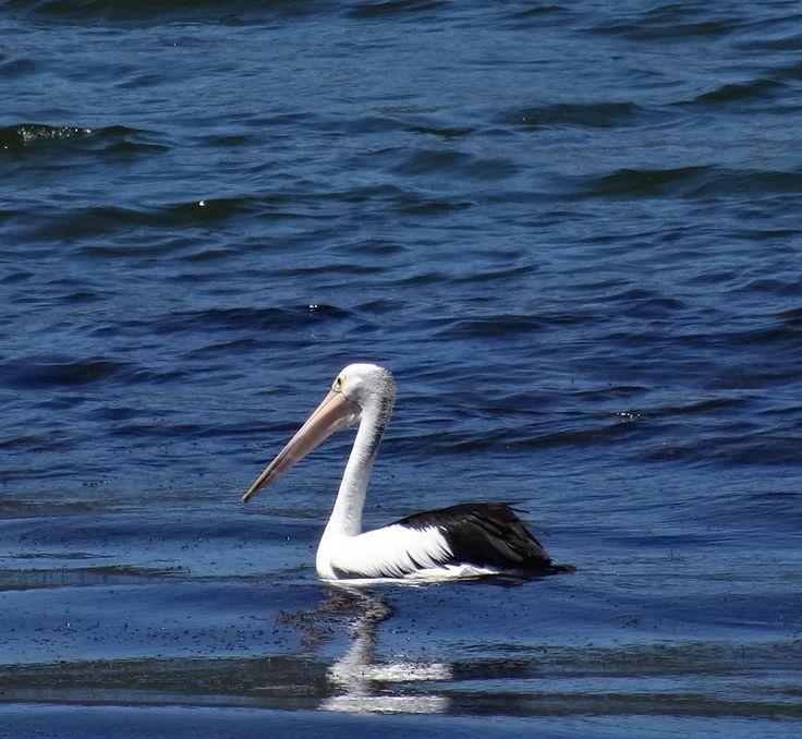 Pelican #birds #pelicans #eungelladam