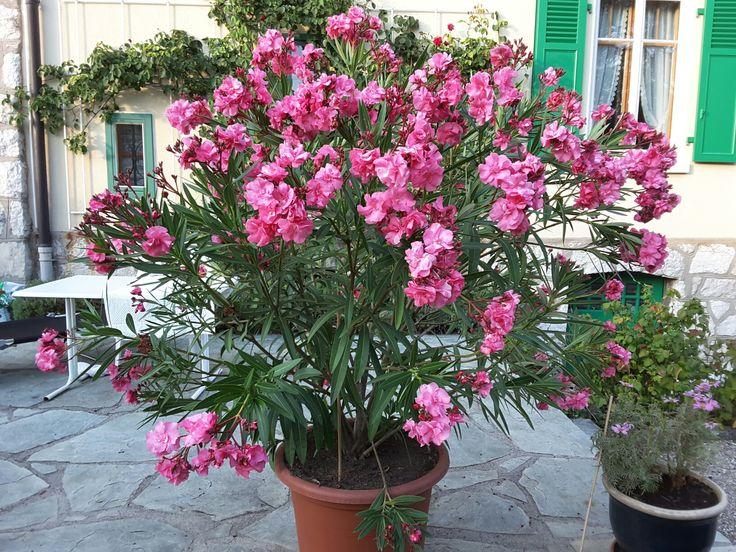 Laurier rose en pleine floraison estivale.