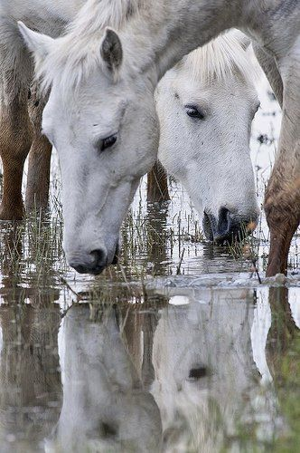 Camargue horses, one of the oldest breeds of horses in the world. Native to the Camargue marshes of the Rhone River Delta, France