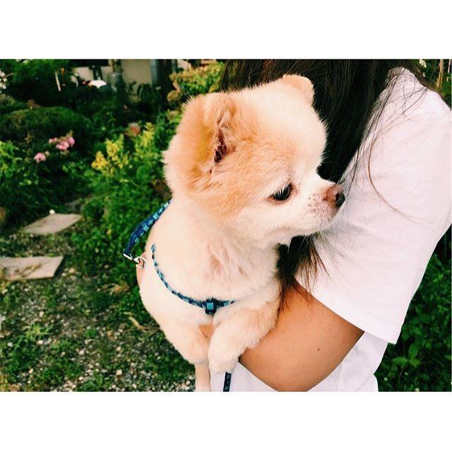 : : すーちゃん アレルギーになってしまった カイカイ可哀想😢 : : 最近自分性格歪んでんなー と思い知った 切り替えて明日はたのしむぞー❤️ : : #スライ #ポメラニアン  #チワワ  #ミックス #愛犬 #sly  #pomeranian  #chihuahua  #mix  #dog