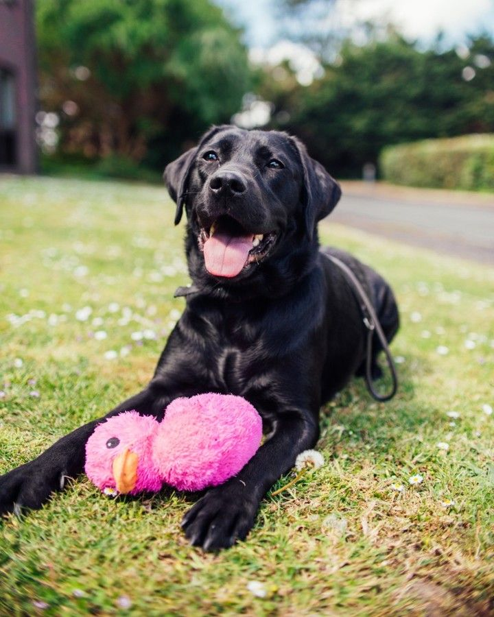 Guide Dogs Uk On Instagram Koko Black Labrador Guide Dog