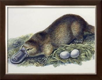 Close-Up of a Female Duck-Billed Platypus with Two Eggs (Ornithorhynchus Anatinus) Photographic Print at Art.com