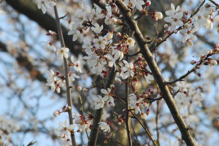 Fejøflowerstorm. Mirabellerne i hegnene er de første frugttræer til at blomstre.