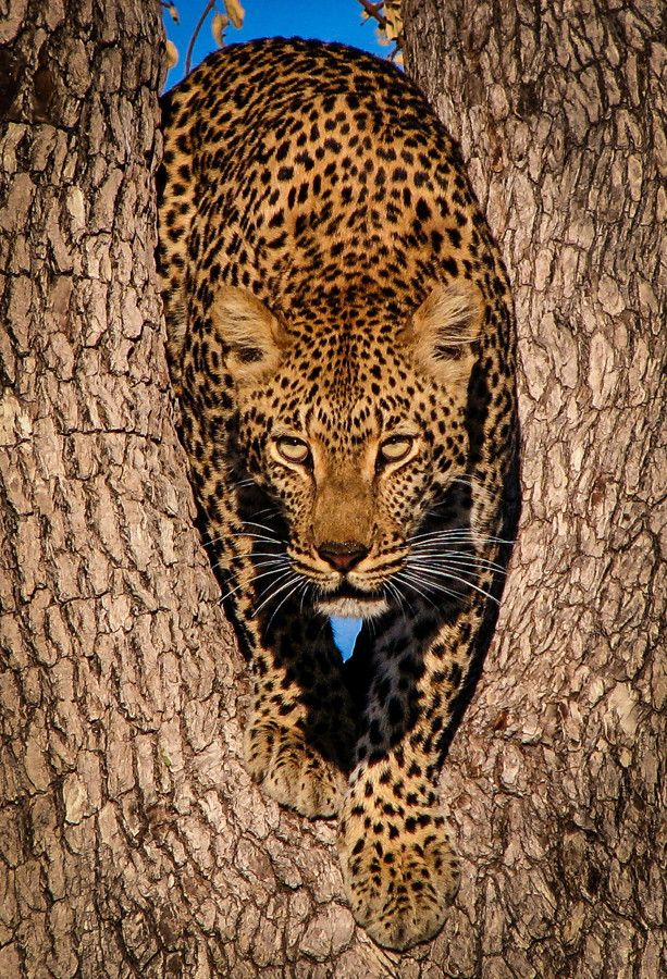 Leopard in Tree by Susan Gibbs on 500px.com (Original Size - Height: 900px - Width: 613px)