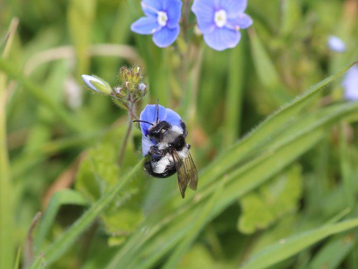 https://flic.kr/p/tTaemb | Adrena cineraria | Ashy Mining Bee, Andrena Cineraria