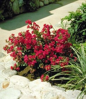 Chica® Red Dwarf Crape Myrtle - Monrovia - A special introduction, selected for its dwarf size and profuse flowering. Produces masses of rosy-red crepe-like blooms in the heat of summer. Great for small spaces and containers. Deciduous.