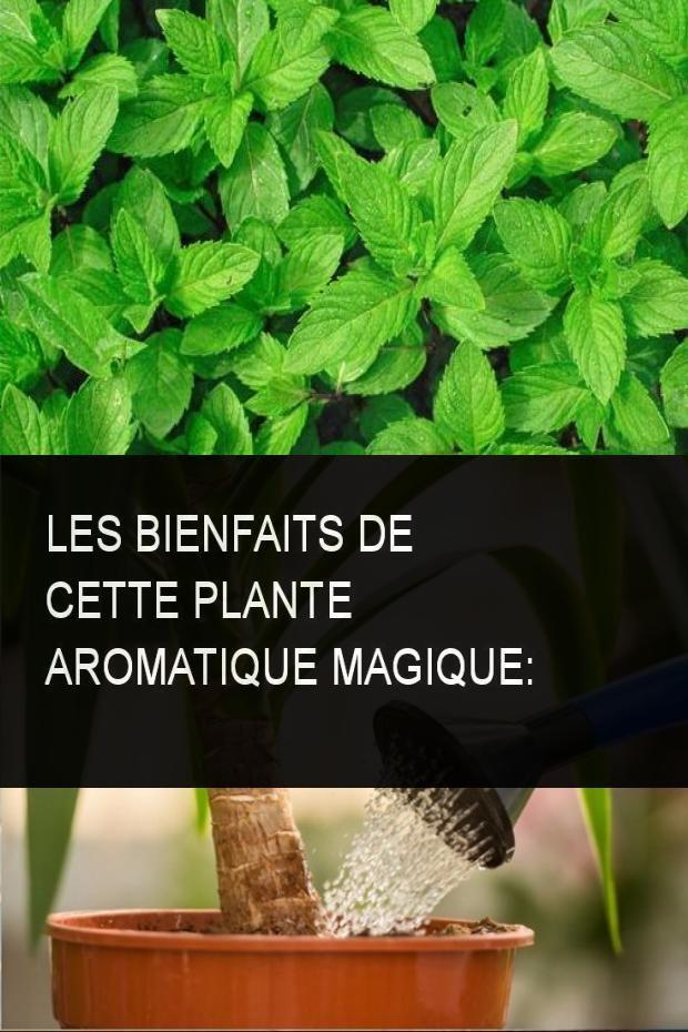 Les Bienfaits De Cette Plante Aromatique Magique Plantes