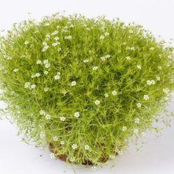 les 31 meilleures images du tableau plantes pour jardin japonais sur pinterest plantes. Black Bedroom Furniture Sets. Home Design Ideas