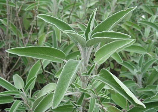 Just like many of you, I have my personal list of favorite herbs – the ones that not only suit my palate, but also seem to be just the ones my body craves. Sage is one of those herbs I absolutely l...