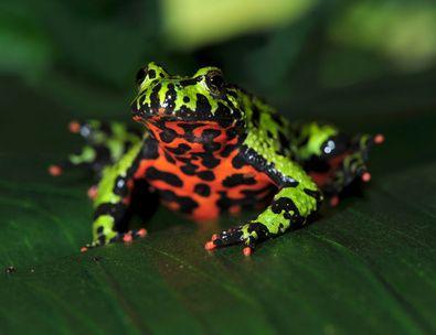 Pet frogs species - photo#47
