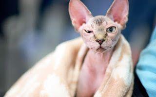 """""""O Grito do Bicho"""": Mulher paga R$ 2.500,00 em gato que era ''raspado'..."""