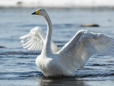 Whooper swan (Laulujoutsen) The graceful white whooper swan is Finland's national bird. Flocks of swans and cranes returning from their southerly wintering areas are welcomed by Finnish nature-lovers as heralding the long-awaited arrival of the spring.