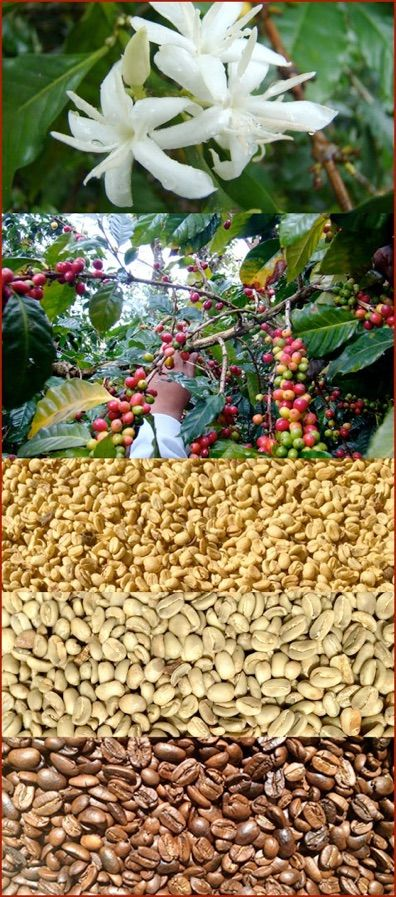 Propiedades del cafe organico