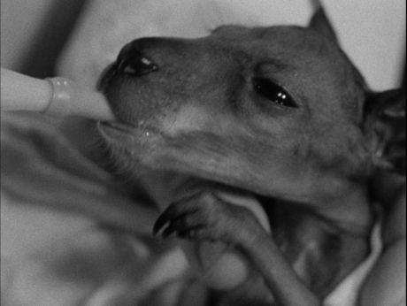 The sweetest kangaroo. Wzruszająca historia kangurka Józia.[video] (REPOZYTORIUM CYFROWE FILMOTEKI NARODOWEJ) #repozytoriumcyfrowe, #kangaroo, #puppies