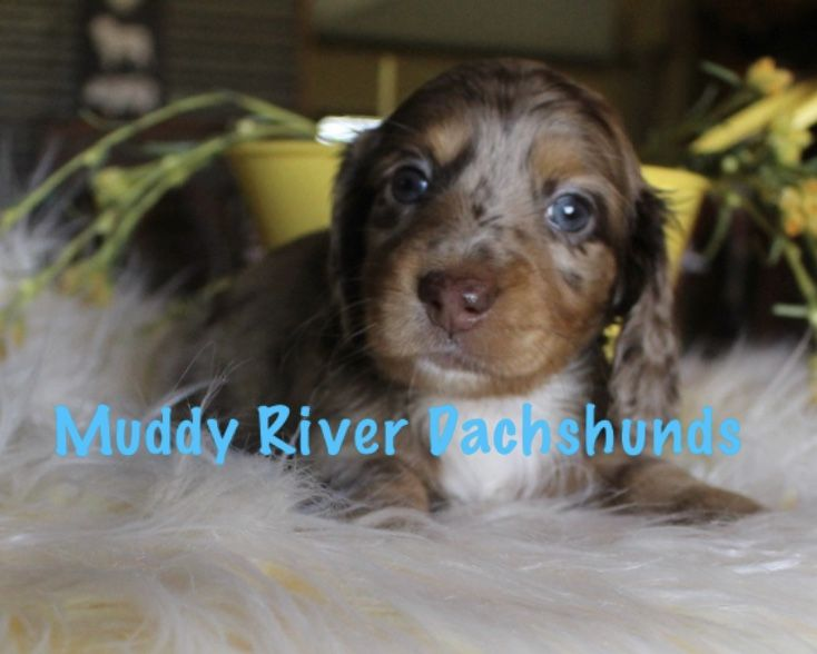 Chocolate And Tan Dapple Longhair Dapple Dachshund Dapple Dachshund Puppy Dachshund Puppy Miniature