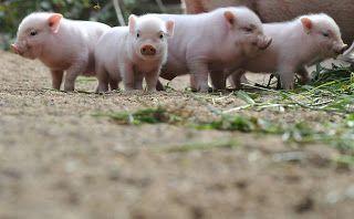 Mini-porco é uma das raças desenvolvidas e utilizadas para a investigação médica ou desenvolvidos para o uso como um animal de estimação.