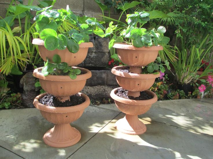 79 best images about Fruit Trees Grown in Pots on ...