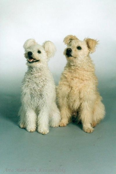 pumi dog photo | hungarian pumi | Pumi & hungarian dogs