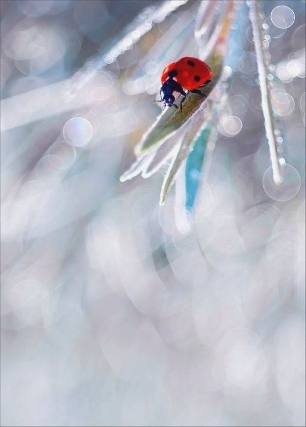 Striking colour gorgeous .... Ice blue and red ladybug macro