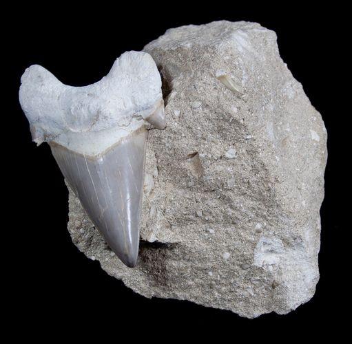 Otodus obliquus fossil shark tooth in matrix from  Khouribga, Morocco