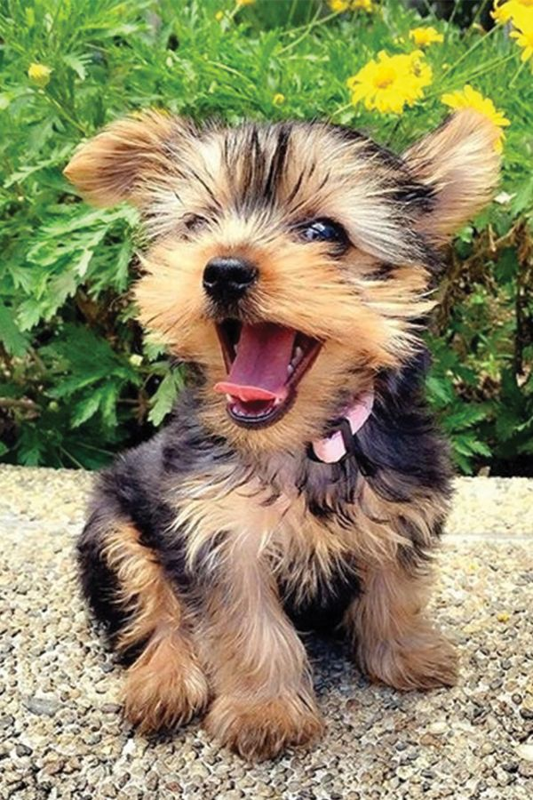 45 Yorkshire Terrier Puppies Footage That Will Steal Your Coronary heart Away